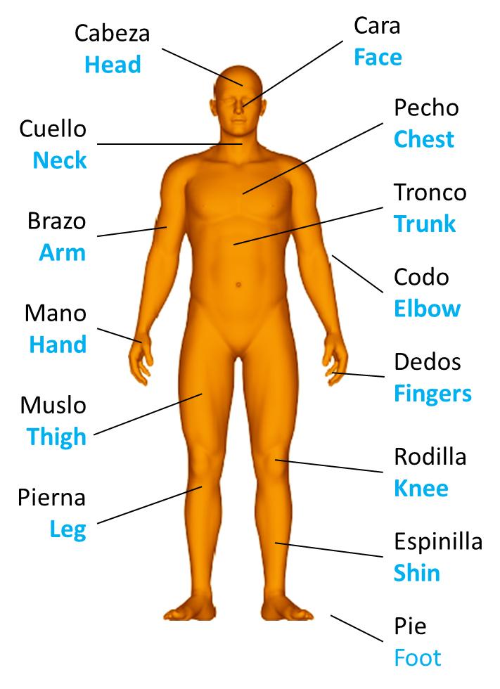 Human body parts, las partes del cuerpo humano en inglés – CEI Academy